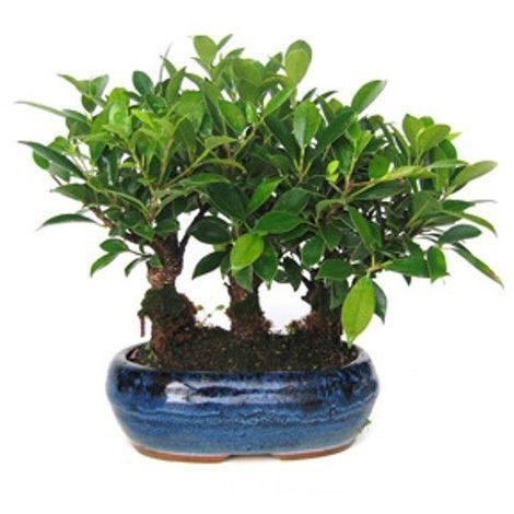 Ficus retusa - 9 años - Bonsái