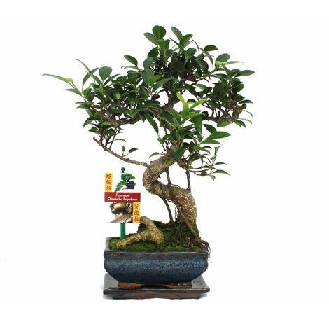 """main image of """"Figuier chinois Bonsaï - Ficus retusa - env. 6 ans"""""""