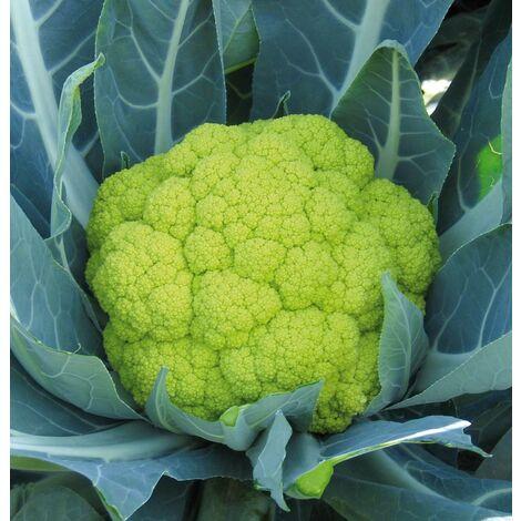 fleur - ERFURT nain très hâtif - 1 g - CHOUX FLEURS