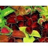 Flower - Coleus - Super Rainbow Mixed