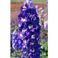 Flower - Delphinium - Pacific King Arthur