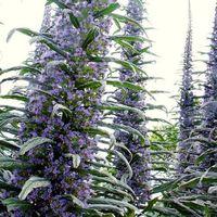 Flower - Echium Pininana - Blue Steeple Tower of Jewels