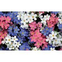 Flower - Forget Me Not - Myosotis - Sylvia Mix