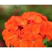 Flower - Geranium - Spirit Orange F2