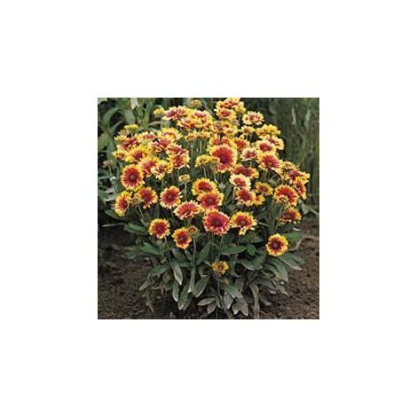 Flower - Kings Seeds - Pictorial Packet - Godetia - Dream Double Mixed