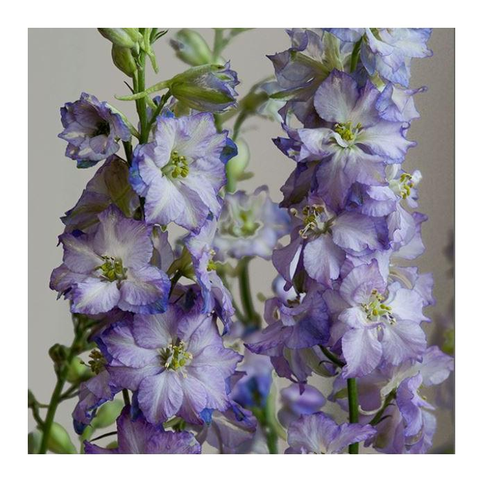 150 Seeds Larkspur Fancy Purple Picotee