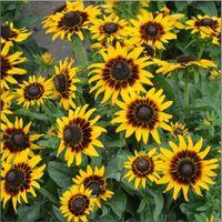 Flower - Kings Seeds - Picture Packet - Rudbeckia hirta - Kelvedon Star - 150 Seed