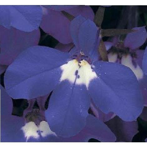 Flower Lobelia Bedding Riviera Blue Eyes