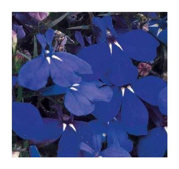 Flower Lobelia Bedding Riviera Midnight Blue