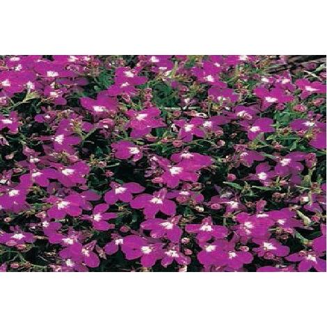 Flower Lobelia Bedding Rosamond 5000 Seeds Stand Flloro001
