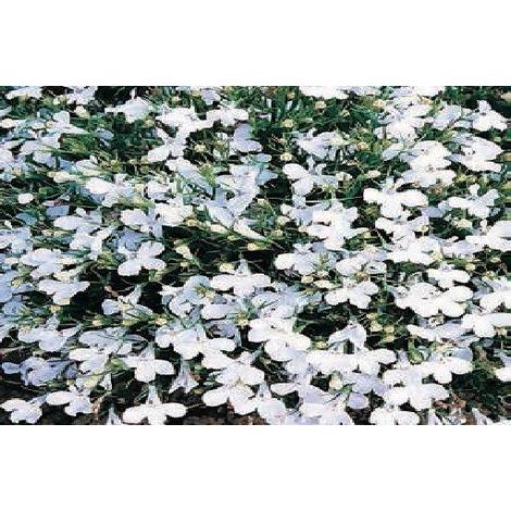 Flower Lobelia Bedding White Lady 5000 Seeds Stand Fllobwl001