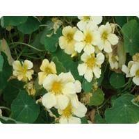 Flower - Nasturtium - Yeti
