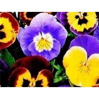 Flower - Pansy - Joker Mixed