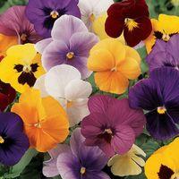 Flower - Pansy - Panola - XP Select Mix F1
