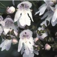 Flower - Prostanthera Lasianthos - Christmas Bush
