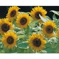 Flower - Sunflower Dwarf - Big Smile