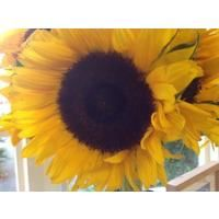 Flower - Sunflower - Giant Single Yellow