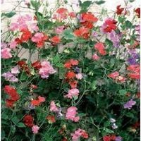 Flower - Sweet Pea - Giant Spencer Wave Mix
