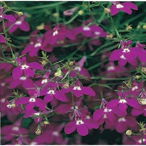 Flower Trailing Lobelia Fountain Rose 5000 Seeds Stand