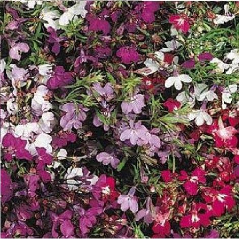 Flower Trailing Lobelia Regatta Mix 1000 Seeds Stand