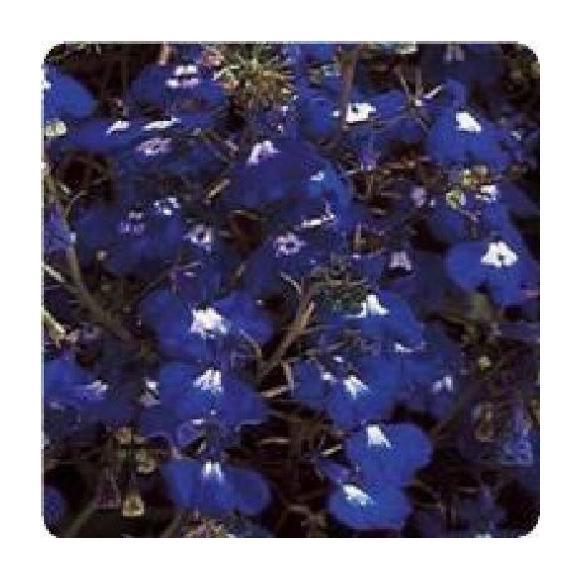 Flower Trailing Lobelia Regatta Sapphire