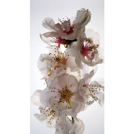 Flowers, rideau imprimé zoom sur fleurs blanches délicates 140x245 cm, 1 part