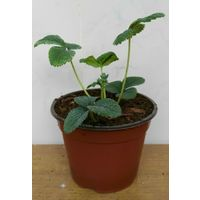 Fragola bianca pianta di fragola bianca - vaso 14 cm