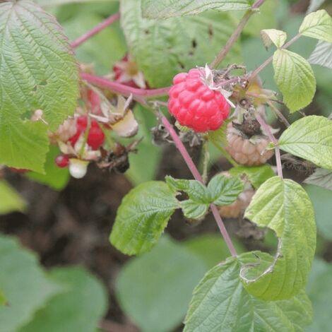 Framboisier (Rubus Idaeus) - Godet - Taille 13/25cm