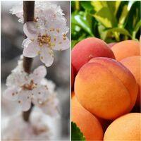 Frutal Albaricoque Paviot. 100 Cm