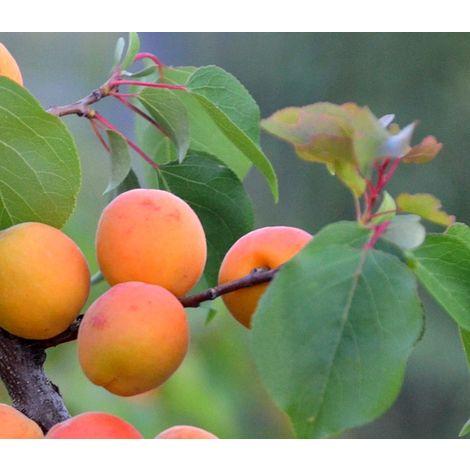 Frutal Enano Albaricoque Albaricoquero. + 50 Cm