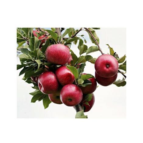 Frutal Manzano Enano. 50 - 70 Cm