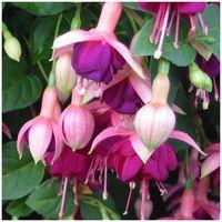 Fuchsia 'Constance'