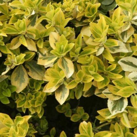 Fusain Emerald 'Gold' (Euonymus Fortunei 'Gold') - Godet - Taille 13/25cm