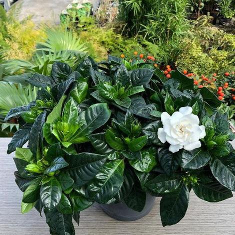 Gardenia jasminoides - Ø 8/10 cm