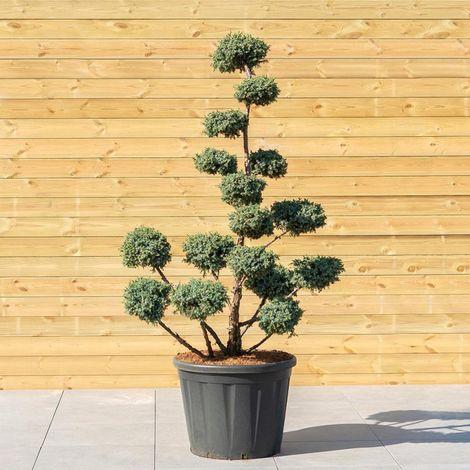 Genévrier de Chine Blue Alps - Juniperus Chinensis Blue Alps