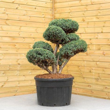 Genévrier Ecailleux Meyeri - Juniperus Squamata Meyeri