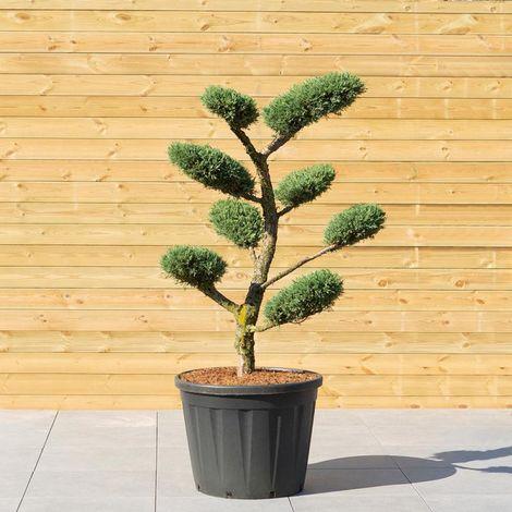 Genévrier Hetzii Taille en Nuage - Juniperus Medi Metzii