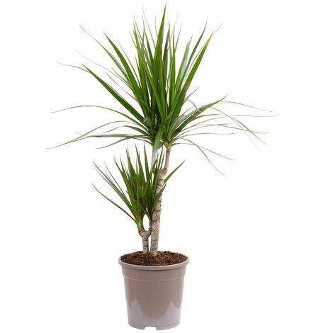 Gerandeter Drachenbaum 2-Stamm - Höhe ca. 75 cm, Topf-Ø 17 cm - Dracaena marginata