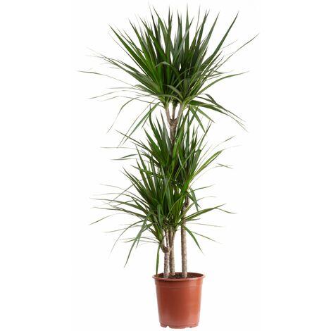 Gerandeter Drachenbaum 3-Stamm - Höhe ca. 120 cm, Topf-Ø 21 cm - Dracaena marginata