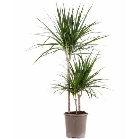 Gerandeter Drachenbaum 3er-Tuff - Höhe ca. 120 cm, Topf-Ø 24 cm - Dracaena Marginata