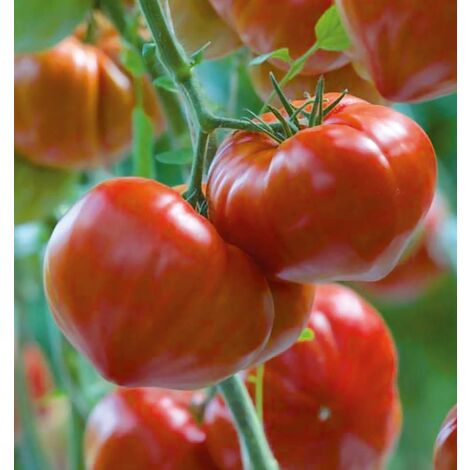 Gourmandia F1 - 15 semences - Tomates