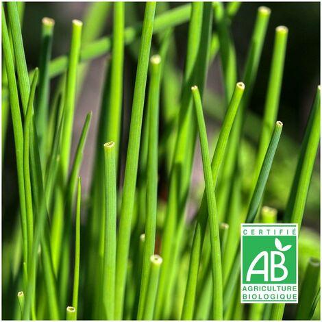 Graines de ciboulette BIO   Sachet de 1 gr. - +/- 450 graines