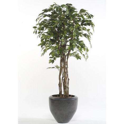 Gran Árbol ficus de calidad, multitronco natural