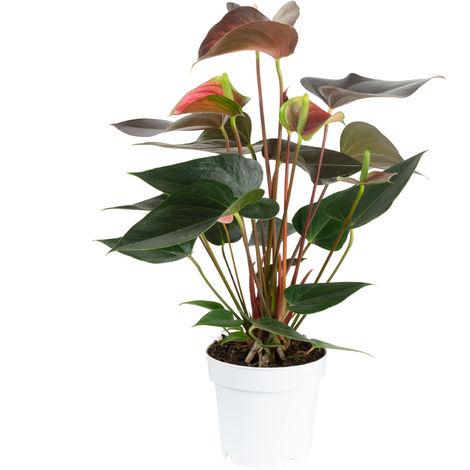 Große Flamingoblume 6-8 Blüten geflammt - Höhe ca. 50 cm, Topf-Ø 14 cm - Anthurium andr. Champion