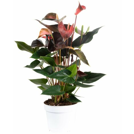 Große Flamingoblume 7-9 Blüten geflammt - Höhe ca. 60 cm, Topf-Ø 17 cm - Anthurium andr. Champion