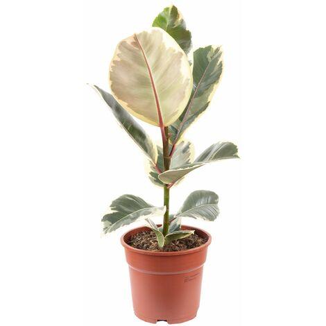 "Gummibaum - Höhe ca. 50 cm, Topf-Ø 17 cm - Ficus elastica ""Tineke"""