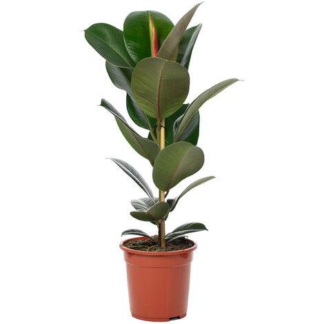 """Gummibaum - Höhe ca. 70 cm, Topf-Ø 21 cm - Ficus elastica """"Robusta"""""""