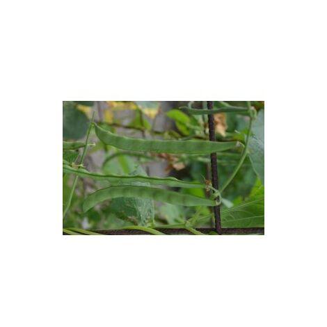 Haricot à rames mangetout Princesse du Pévèle - 90g