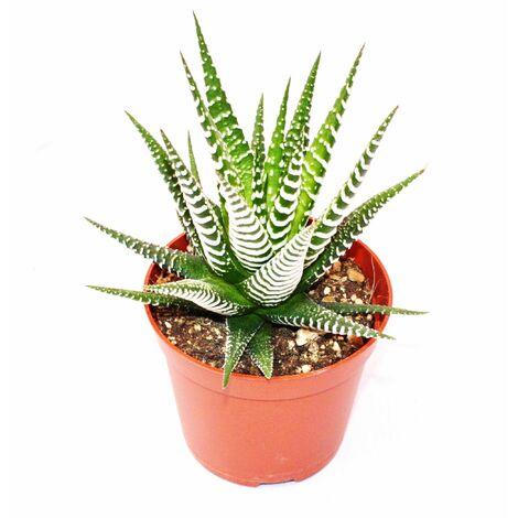 "main image of ""Haworthia fasciata ""Big Band"" - petite plante en pot de 5,5 cm"""