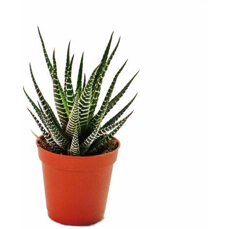 """main image of """"Haworthia fasciata - petite plante en pot de 5,5 cm"""""""